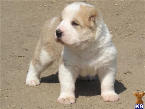 central asian shepherd for sale central asian shepherd for sale 41543