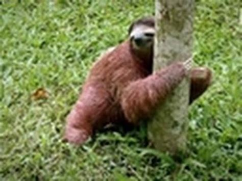 sloth going to the bathroom baby sloths get potty trained too cute youtube