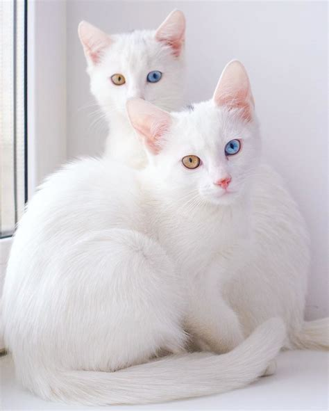 Twin Cats | meet the most beautiful twin cats in the world bored panda