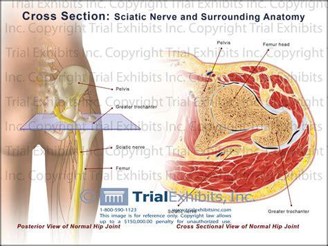 cross section of nerve sciatic nerve anatomy human anatomy diagram