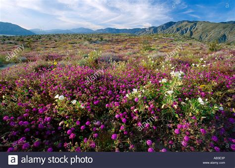 anza borrego desert flowers desert flower bloom truckhaven trail anza borrego desert