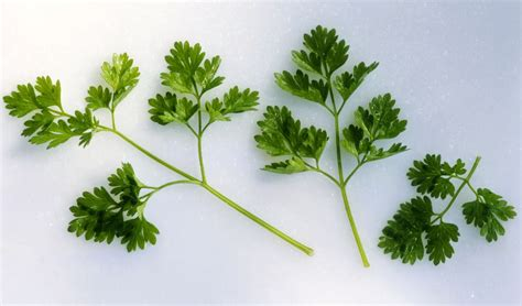 all about chervil tips to use a delicate spring herb