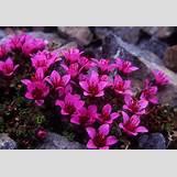 Purple Saxifrage | 313 x 217 jpeg 50kB
