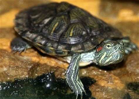 species red eared slider turtle guide community