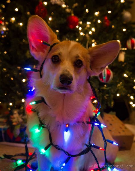 christmas dog lights tree puppy corgi waffles wafflesthecorgi
