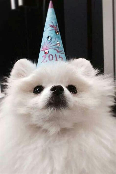 happy birthday pomeranian happy birthday pomeranian