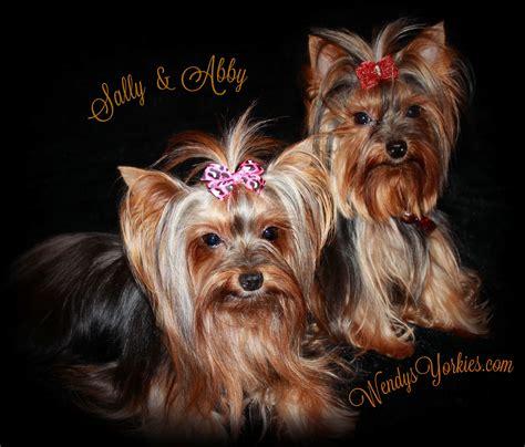 wendy s yorkies terrier maltese and morkie puppies for sale in wendys yorkies