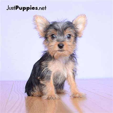 yorkie puppies orlando puppies for sale orlando fl justpuppies net