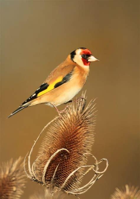 attract goldfinches to your garden scottish wildlife trust