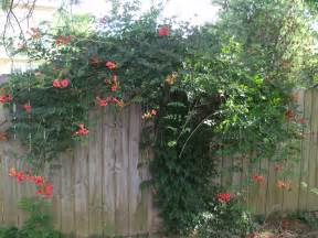 Can I Bury My Dog In My Backyard Trumpet Vine Putting It All On The Table