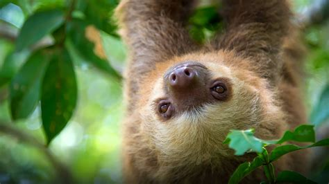 Two Search Two Toed Sloth San Diego Zoo Animals Plants