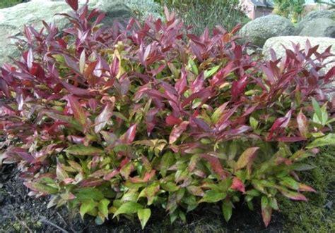 Flowering Evergreen Shrubs Full Sun - scarletta leucothoe