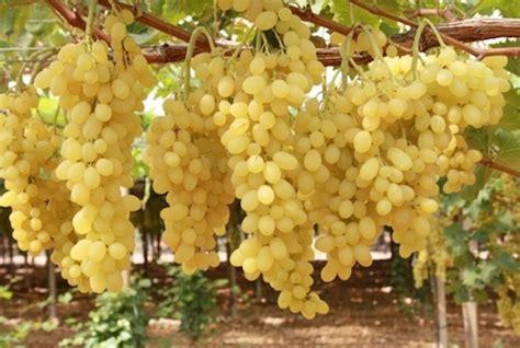uva da tavola italia tutto sull uva da tavola agronotizie vivaismo e sementi