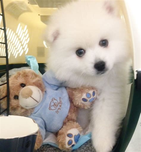 so puppies so american eskimo puppies breeds puppies ideal american eskimo puppies