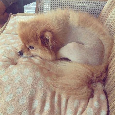 no haircut dogs as 25 melhores ideias de the mohawk no pinterest
