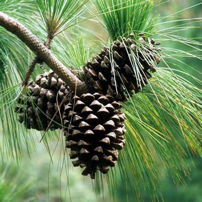 buy pinus roxburghii chir pine  kg seeds   nursery   seeds  lowest price