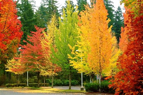 color changing tree spectacular trees for fall the tree center