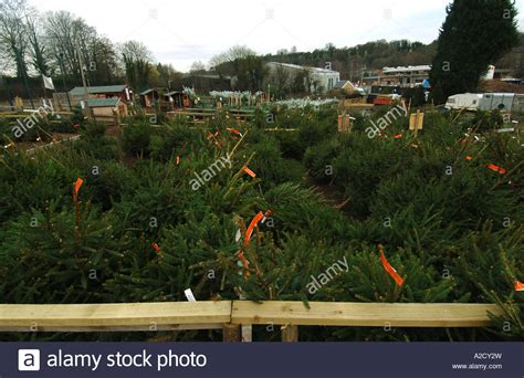 chesham christmas tree farm in chesham a farmstyle village