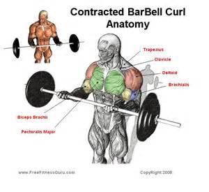 Olympic Workout Bench Freefitnessguru Contracted Barbell Curl Anatomy