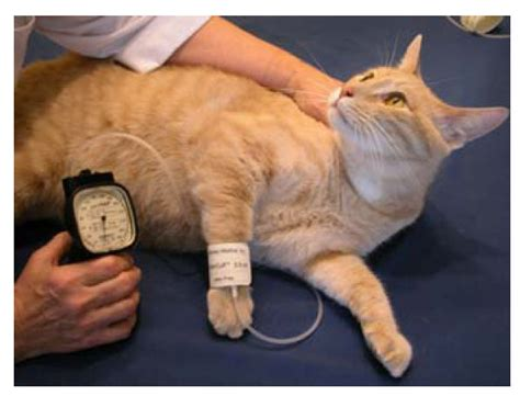 high blood pressure in dogs how do i measure blood pressure in a or cat breeds picture