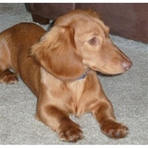free puppies ky dachshund doxie breeders in kentucky freedoglistings