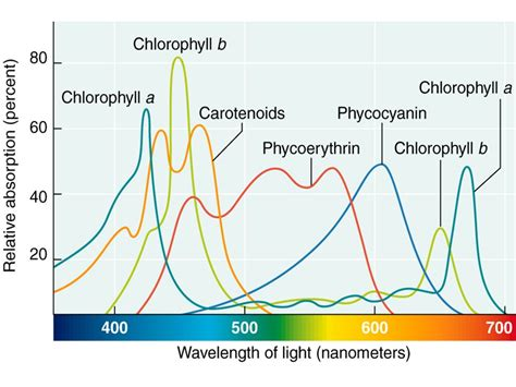 The Absorption Of Light By Photosynthetic Pigments