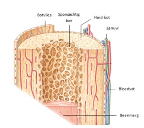 botters boten bouw de botten alles weten over osteoporose
