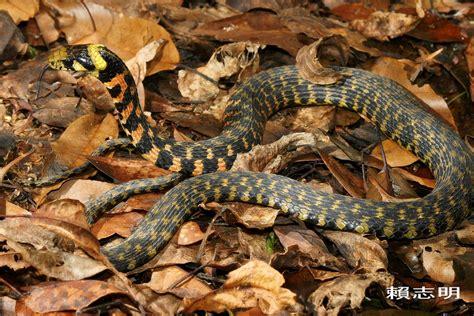 Tiger Eye Ii Ring 19 rhabdophis tigrinus formosanus asian tiger snake