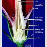 Flower Parts Carpel | 463 x 504 jpeg 79kB