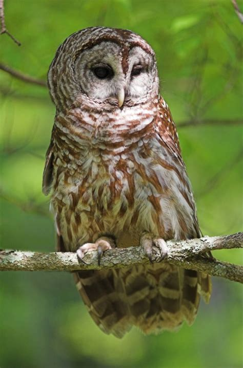 photos by gary hartley west virginia wildlife 7590 barred owl