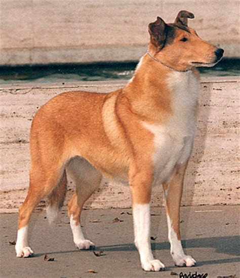Smooth Collie Shedding by Smooth Collie History Personality Appearance Health And Pictures