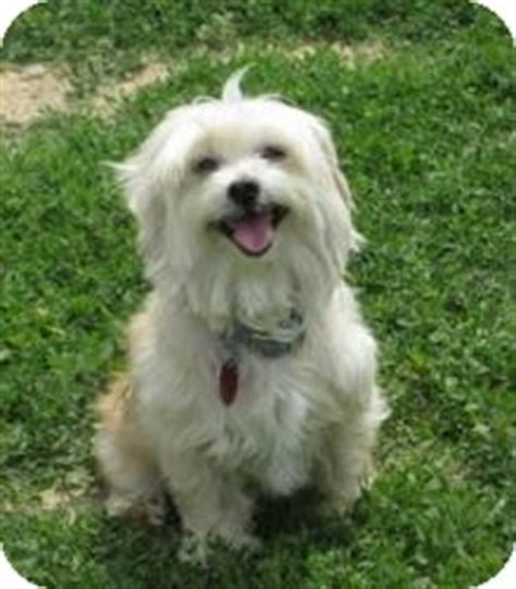 shih tzu puppies richmond va nellie adopted richmond va maltese shih tzu mix