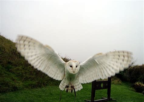 barn owl ring bearer barn owl facts