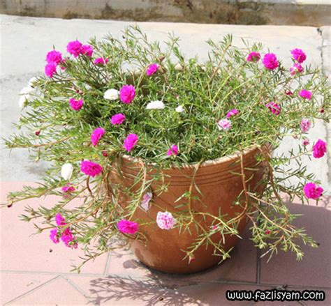 Jual Bibit Bunga Mawar Di Medan cara tanam bunga aster tanamanbaru