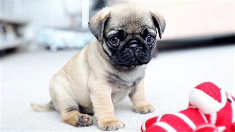 of pugs picture of pug puppy coloring europe travel guides