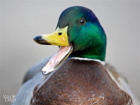 mallard duck wild delightwild delight