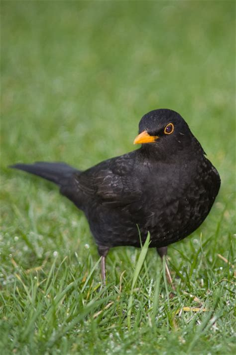 blackbird alisons nature reserve