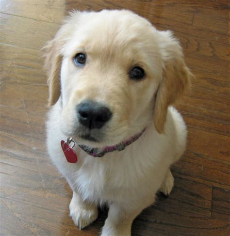 golden retriever dogs 101 dogs 101 golden retriever image search results