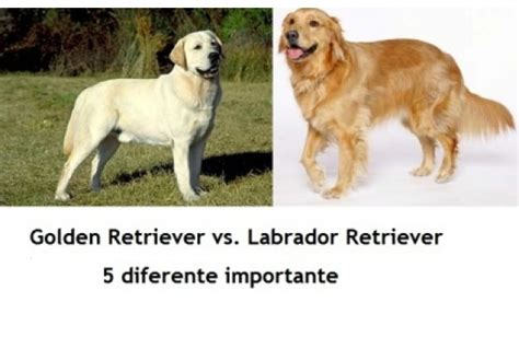 golden retriever and labrador retriever golden retriever vs labrador retriever 5 diferente importante