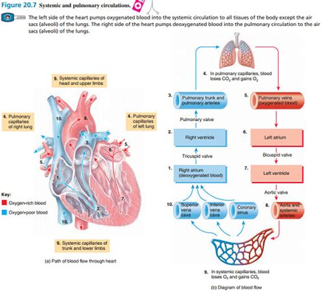 pattern of blood flow quizlet diagram of the order blood flow through heart pathway of