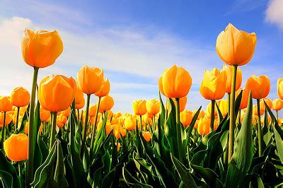tulip flower tulip flowers backgrounds wallpapers