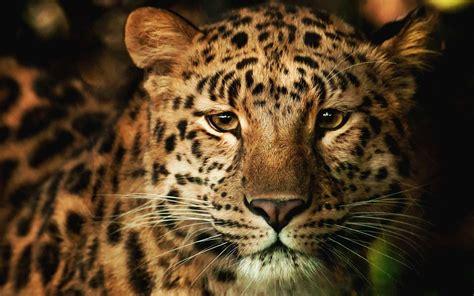domain leopard image the graphics l 233 opard hd fond d 233 cran and arri 232 re plan 1920x1200