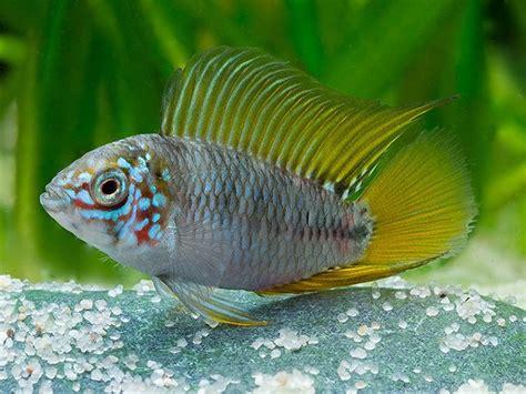 Ikan Apistogramma Indukan die besten 17 ideen zu aquarium barsche auf