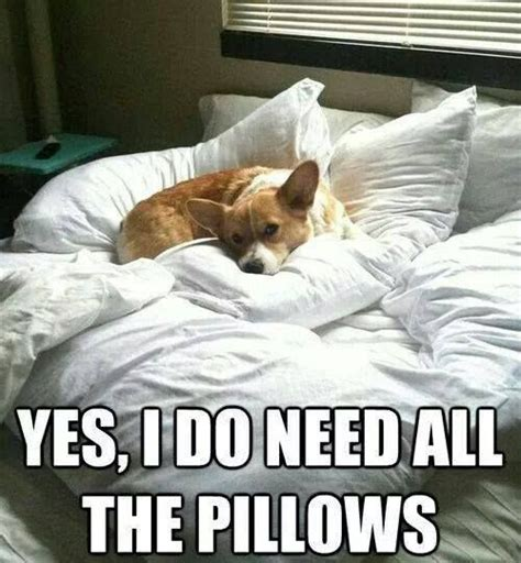 Dog In Bed Meme - 25 best ideas about funny corgi pictures on pinterest