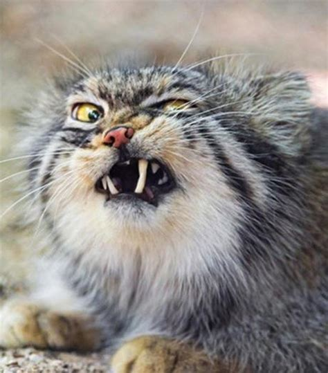 10 Funniest Cat Photos by Top 10 Funniest Images Of Cats Pulling Faces Paperblog