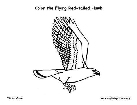 hawk red tailed flying coloring page