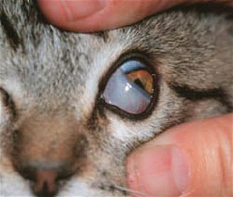 third eyelid interesting facts about cats for pets world