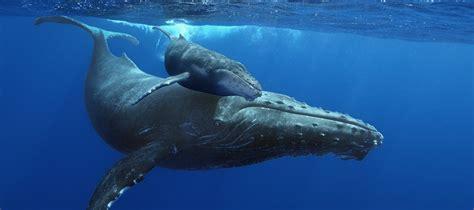 imagenes reales de ballenas las 10 ballenas m 225 s grandes del planeta pet central