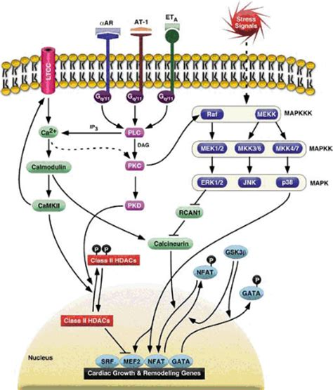 g protein pathway signal transduction pathways of the thoracic key