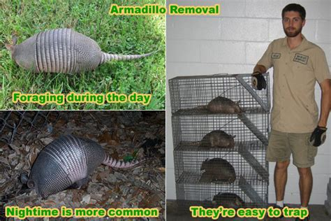 how to catch a raccoon in my backyard how to trap an armadillo trapping tips and bait advice